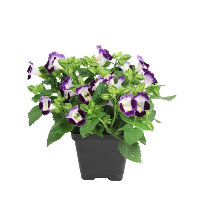 Shop 5 for 5 annuals at lowes 1 pint pot torenia l9964 izmirmasajfo Choice Image