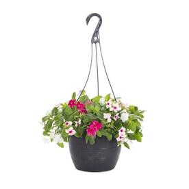 1.5-Gallon Multicolor Vinca in Hanging Basket