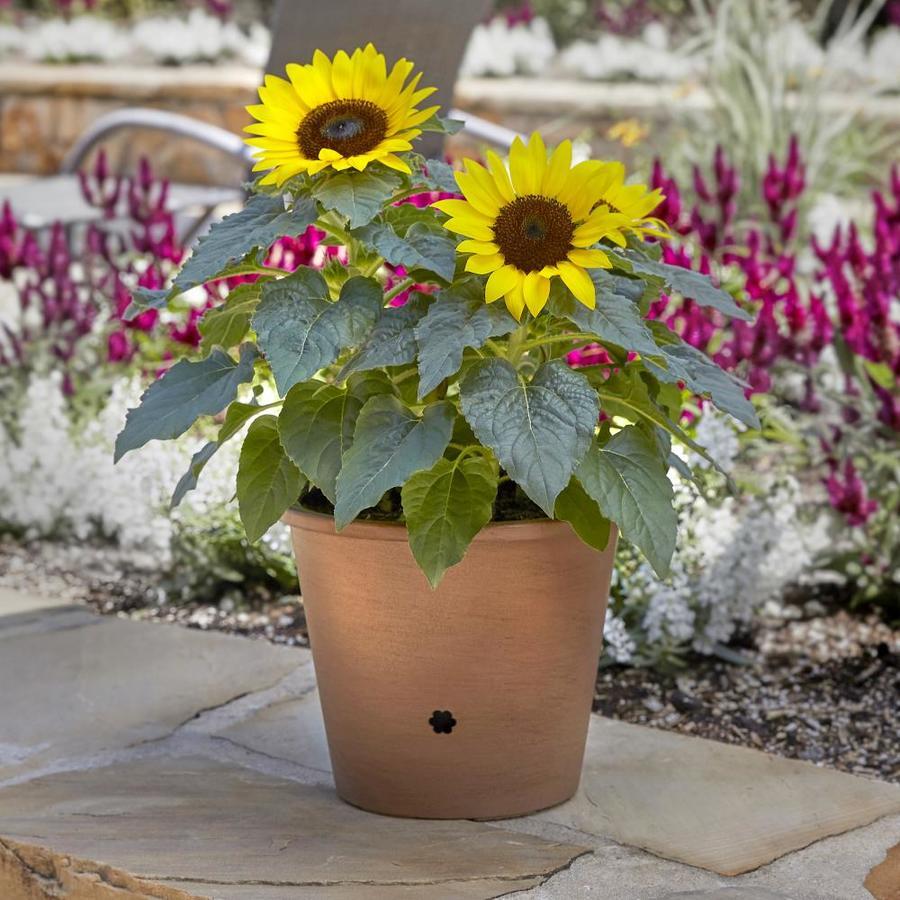 3-Quart Sunflower (L11281)