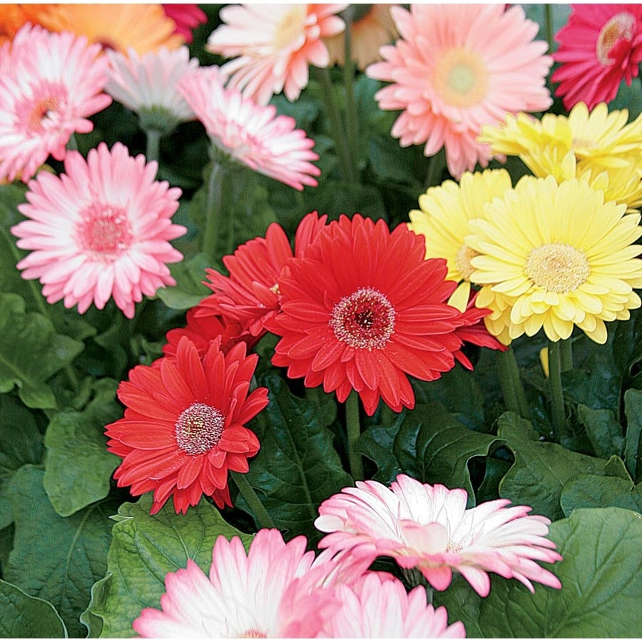 Shop 3 quart planter gerbera daisy l3114 at lowes 3 quart planter gerbera daisy l3114 izmirmasajfo