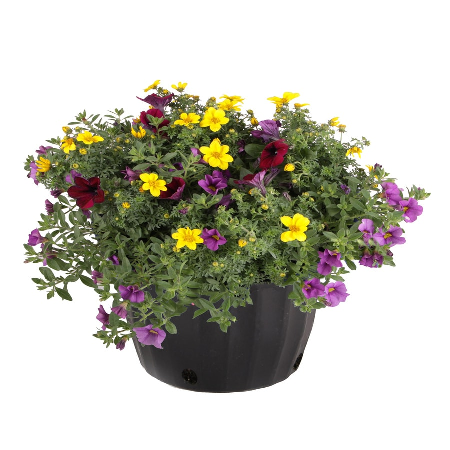 1.5-Gallon Temporary Mixed Annuals Combinations
