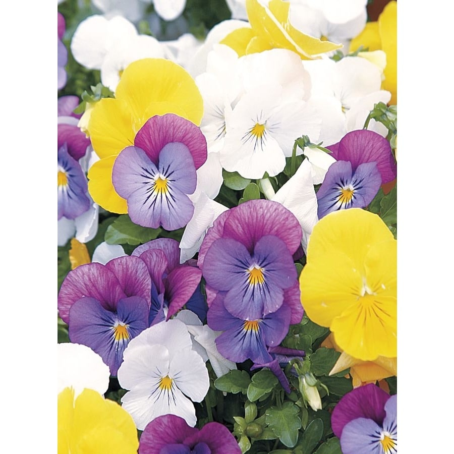 1.75-Gallon Trailing Pansy (L23162)
