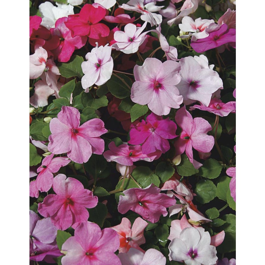 1.59-Gallon Impatiens (L6587)
