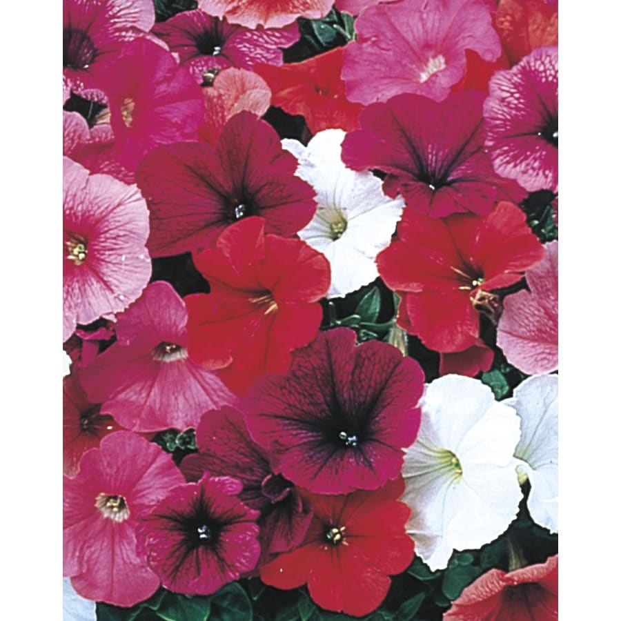 1.59-Gallon Trailing Petunia (L2017)