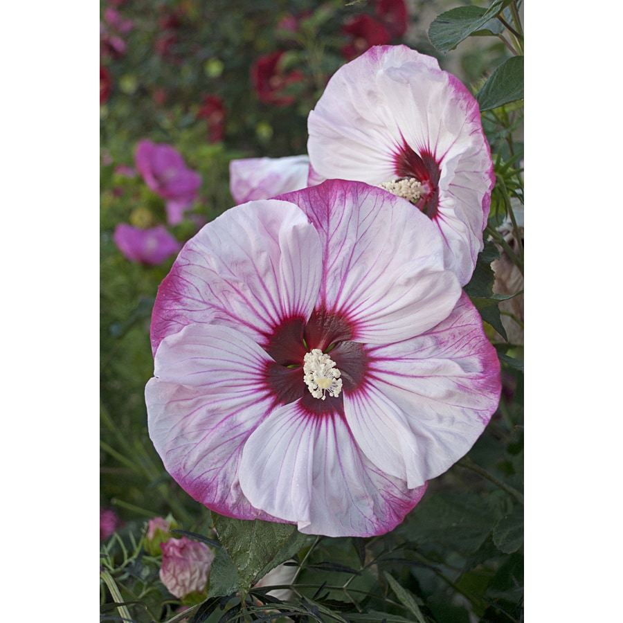 Proven Winners 2 Quart Potted Hibiscus At Lowes Com