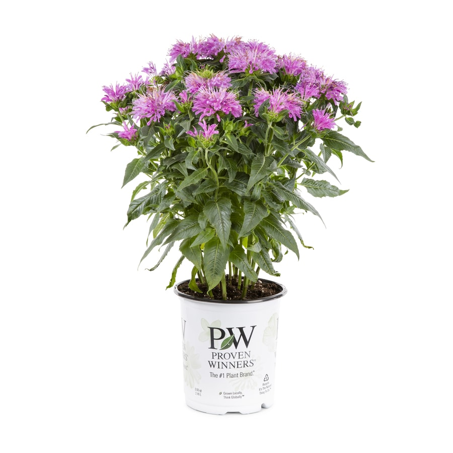 Proven Winners 2-Quart Butterfly Weed