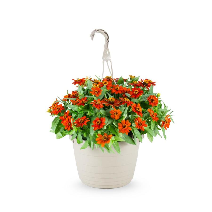 1.5-Gallon Zinnia (L6859)