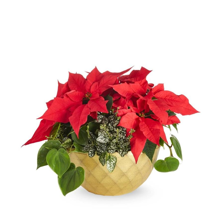 1.5-Gallon Poinsettia (L22289HP)