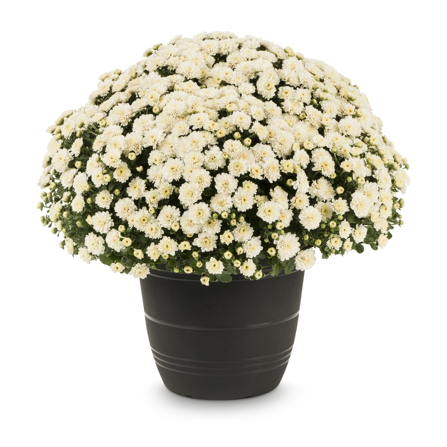 Shop 175 Gallon Planter White Mum L5843 At Lowes
