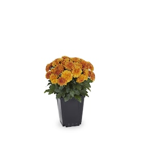 1-Pint Orange Mum in Pot (L4359)