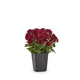 1-Pint Red Garden Mum in Pot (L4359)