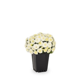1-Pint White Garden Mum in Pot (L4359)