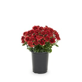 1-Quart Red Garden Mum in Pot (L5581)