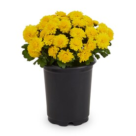 1-Quart Yellow Garden Mum in Pot (L5581)