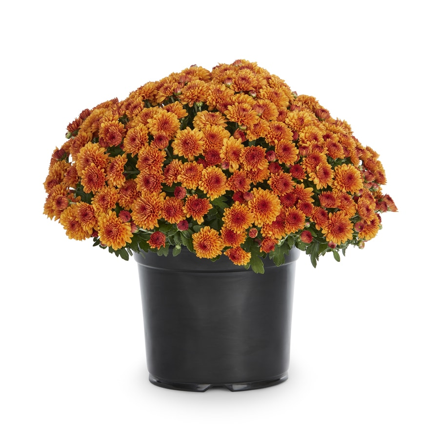 3-Quart Orange Mum (L17375)