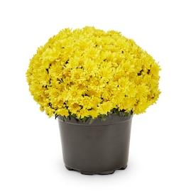 3-Quart Yellow Mum in Pot (L5581)