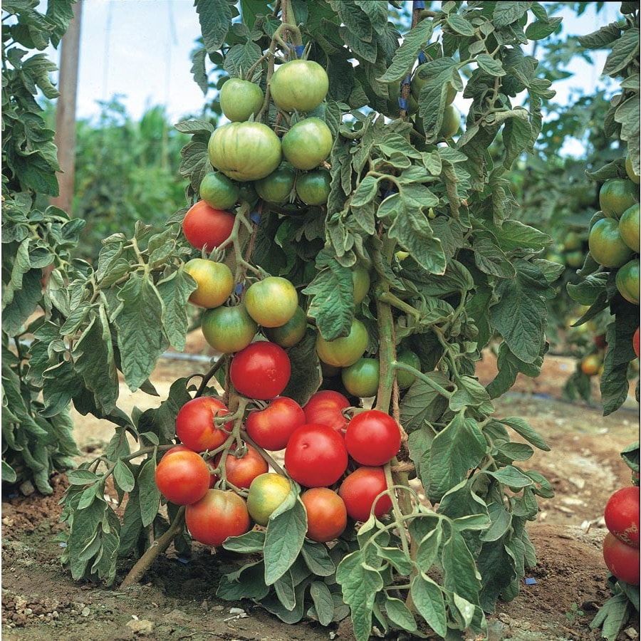 1.5-Gallon Tomato Assortment Plant (L14917)