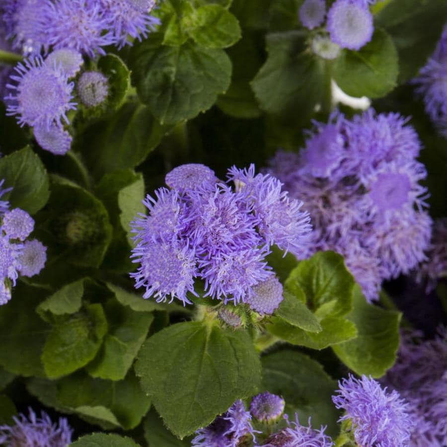 Shop 6 Pack Multicolor Ageratum In Tray L3980 At Lowes