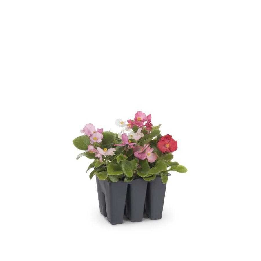6-Pack Begonia (L6589)