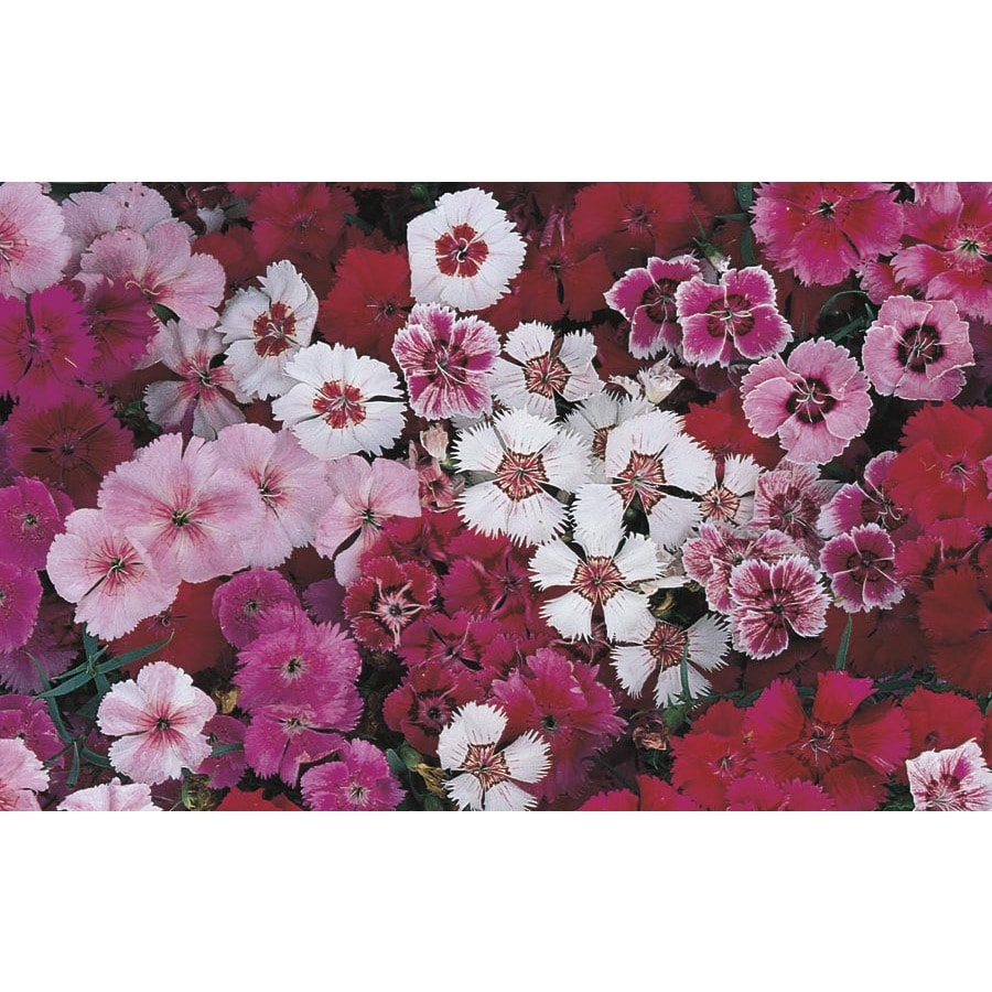 6-Pack Dianthus (L17860)