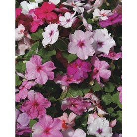 6-Pack Multicolor Impatiens in Tray (L6587)