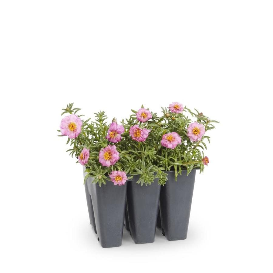6-Pack Moss Rose (L2535)