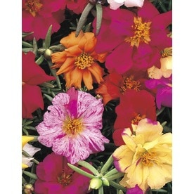 6-Pack Multicolor Moss Rose in Tray (L2535)