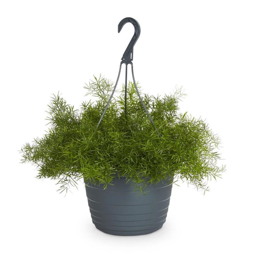 1.5-Gallon Asparagus Fern (L5775)