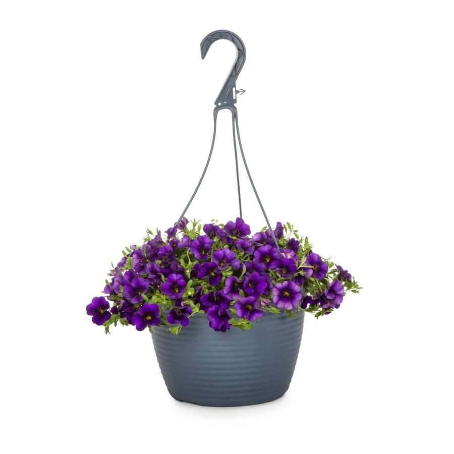 shop 1 5 gallon hanging basket calibrachoa l17603 at. Black Bedroom Furniture Sets. Home Design Ideas