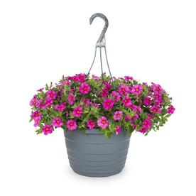 1.5-Gallon Hanging Basket Calibrachoa (L17603)