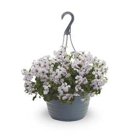 1.5-Gallon Multicolor Geranium in Hanging Basket (L5450)