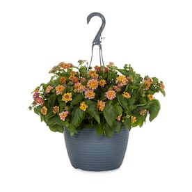 1.5-Gallon in Hanging Basket Lantana (L6708)