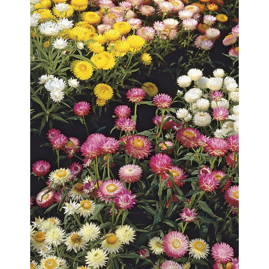 1.5-Gallon Strawflower (Lgcs00795)