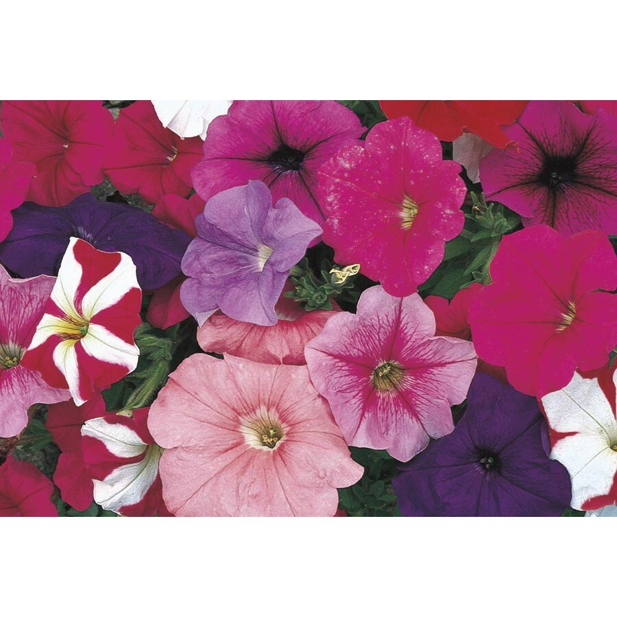 1-Gallon Temporary Petunia (L17355)