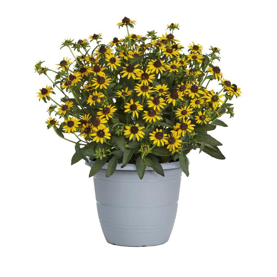 1.75-Gallon Container Black Eyed Susan (L5336)
