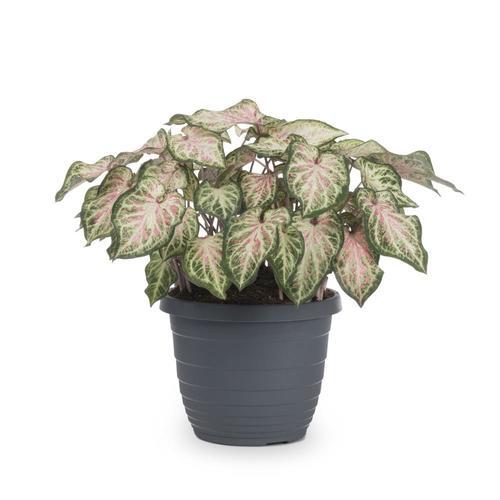 Jardini In A 75 Gallon: 1.75-Gallon Caladium In Pot (L3279) At Lowes.com