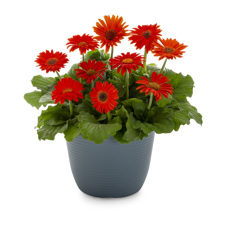 1-Gallon Temporary Gerbera Daisy (L3114)