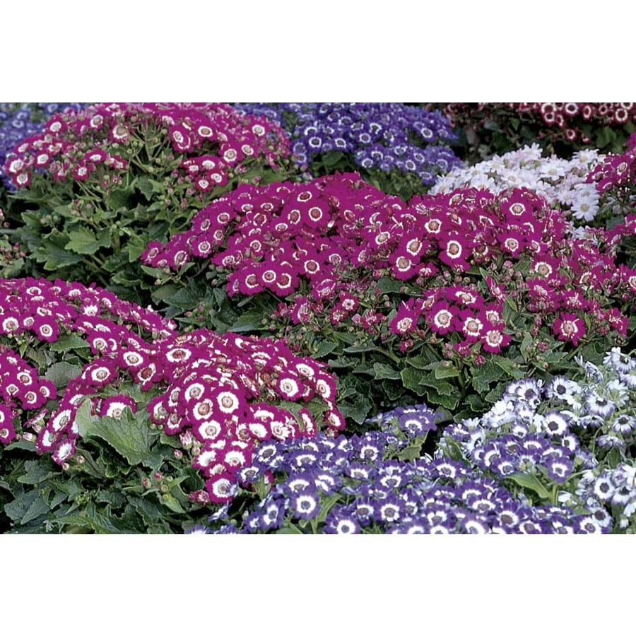 1.5-Gallon Pericallis (Lw02678)