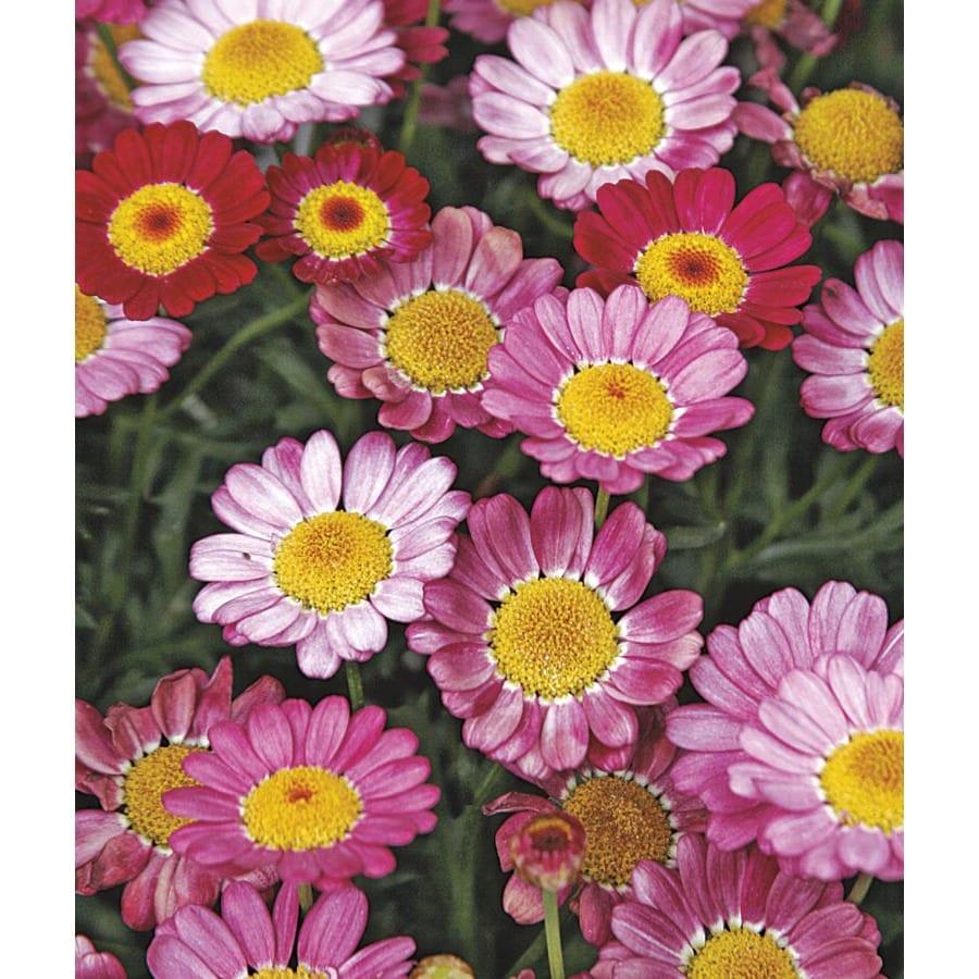 2-Gallon Marguerite Daisy (Lw00222)