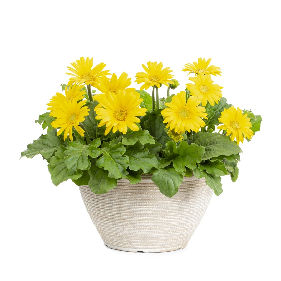 Shop 15 gallon planter gerbera daisy l3114 at lowes 15 gallon planter gerbera daisy l3114 izmirmasajfo