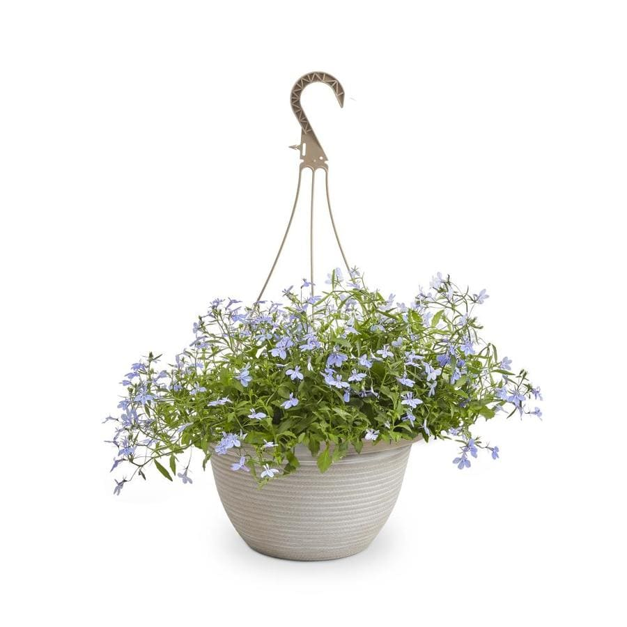 2-Gallon Lobelia (L9900)