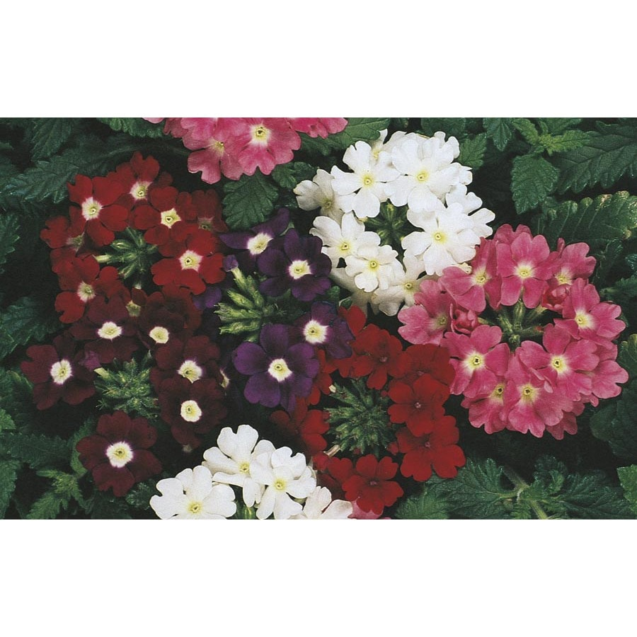 2-Gallon Verbena (L3164)