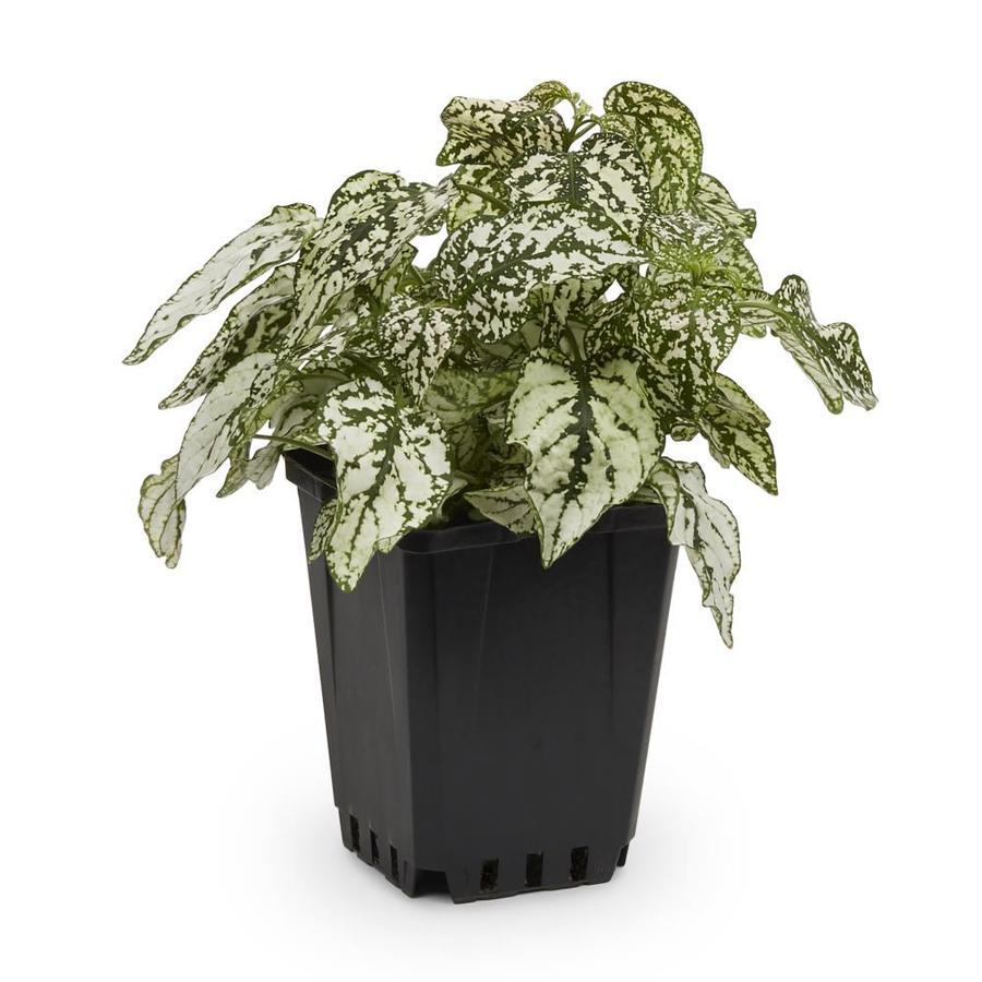 1-Pint Polka Dot Plant (L17149)