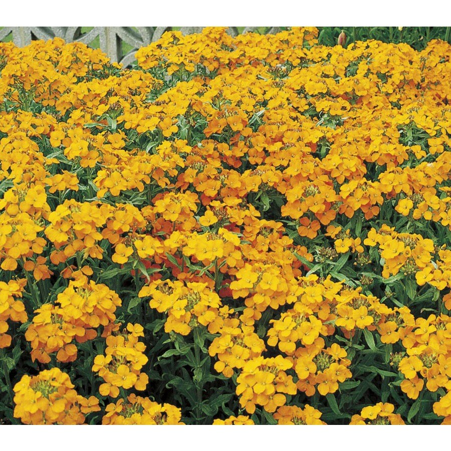 1-Quart Wallflower (L15531)