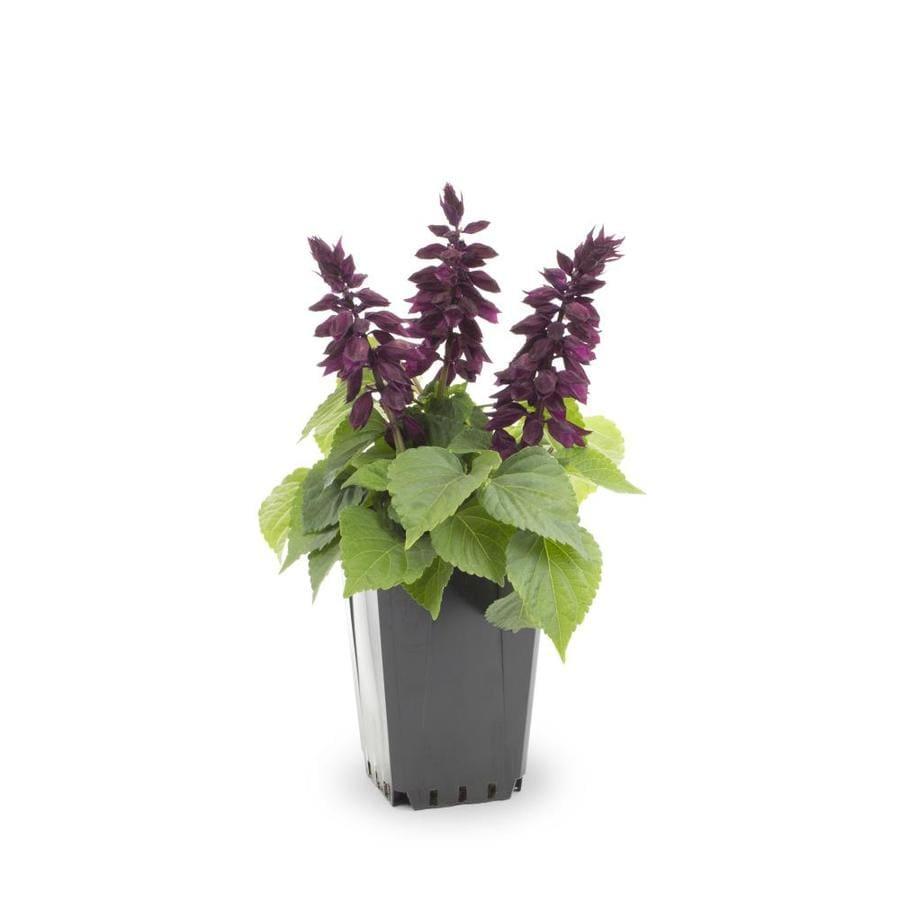 1-Quart Salvia Sage (L4091)
