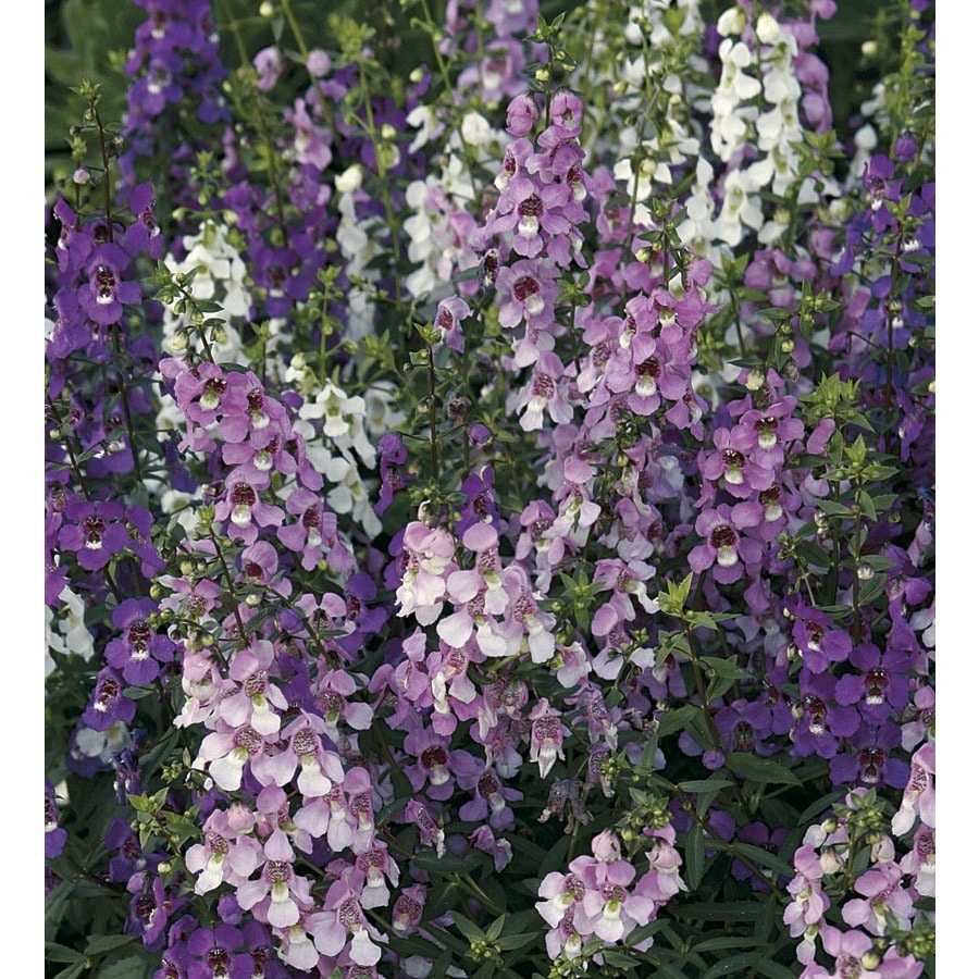 1-Quart Angelonia (L10016)