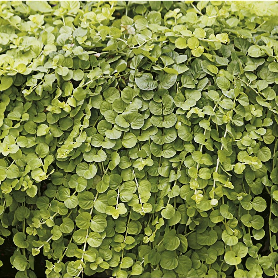 1-Quart Creeping Jenny (L2652)