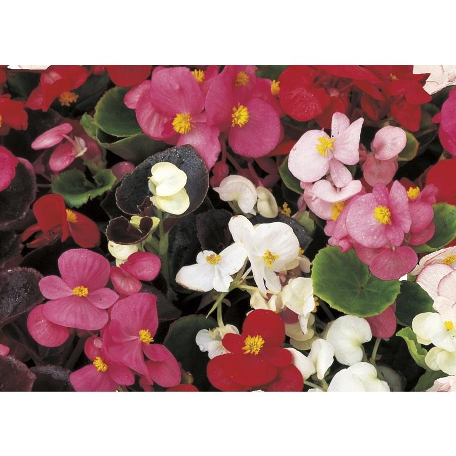 1.25-Quart Begonia (L6589)