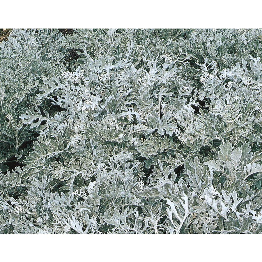 Paint Color The Color Of Dusty Miller Plant