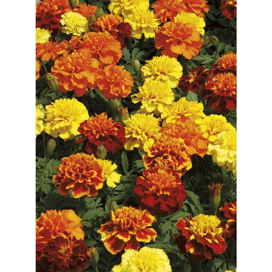 1.25-Quart French Marigold (Dwarf) (L17086)